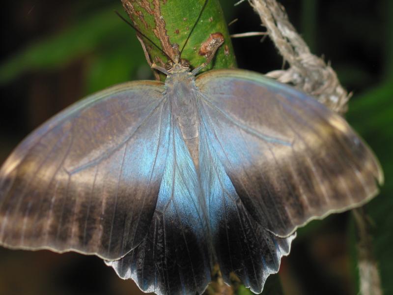 Owl Butterfly inside wings