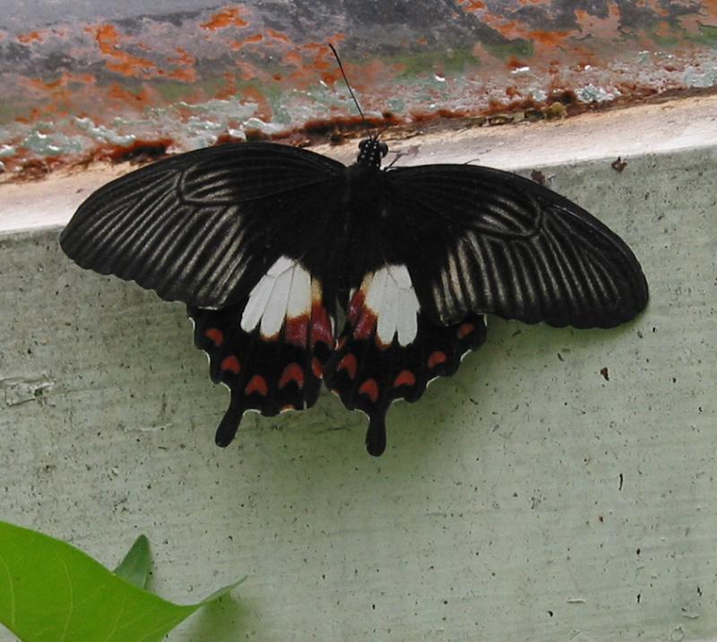 Rumanzovia swallowtail