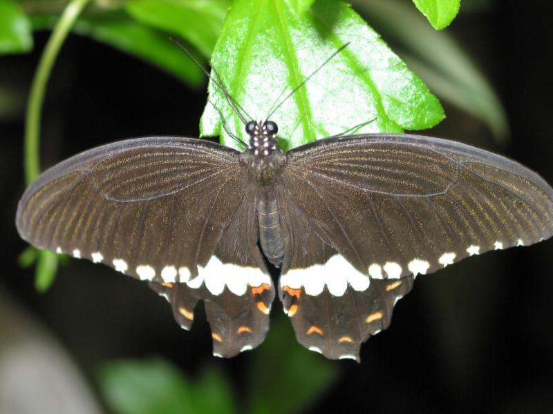 Central American Black Butterfly!
