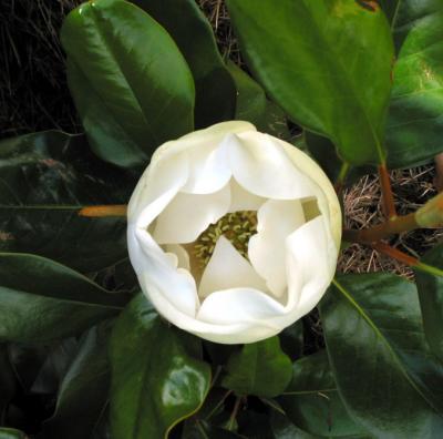 Sally's Magnolia