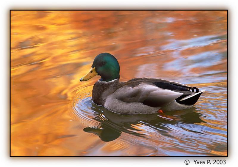 Duck in Fall ...
