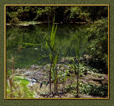 Reeds of Innocence