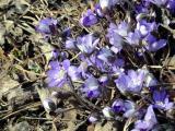 alpine flowers, Reykjavik Botanical Garden