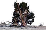 Tortured Trees of the Sierra Nevadas