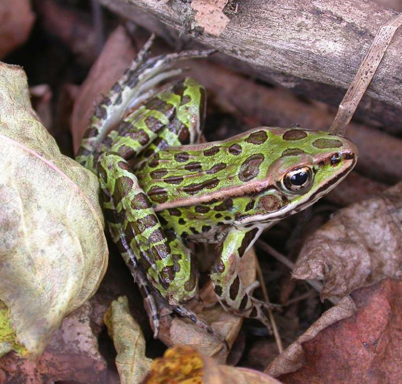 Leopard frog  --  <i>Rana pipiens</i>  -- # 1