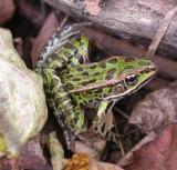 Leopard frog  --  Rana pipiens  -- # 1