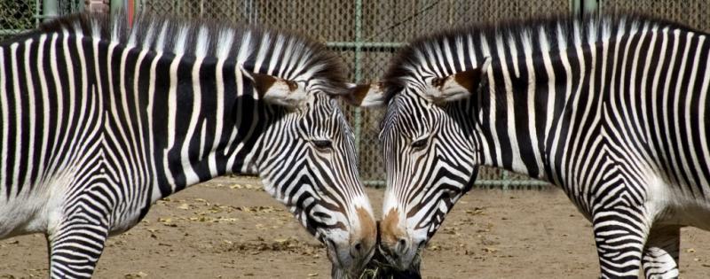 Mirrored Zebras (*)