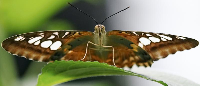 Butterfly *