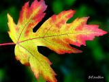 Maple Leaf*