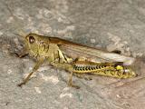Grasshopper 5484 (V33)
