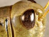 Grasshopper closeup 5494 100% (V33)
