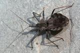 Wheel Bug (Arilus cristatus) 0969 (V43)