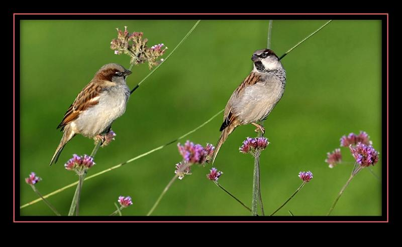 The Luxembourg sparrows