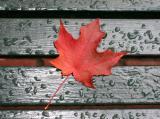 Freshly Fallen Maple Leaf on a Wet Park Bench