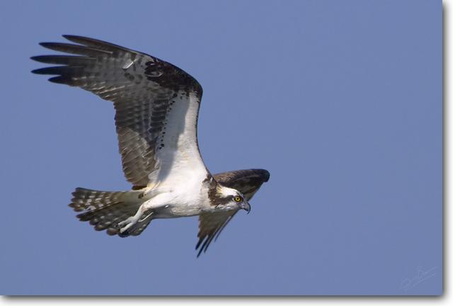 <!-- CRW_0934.jpg -->Osprey