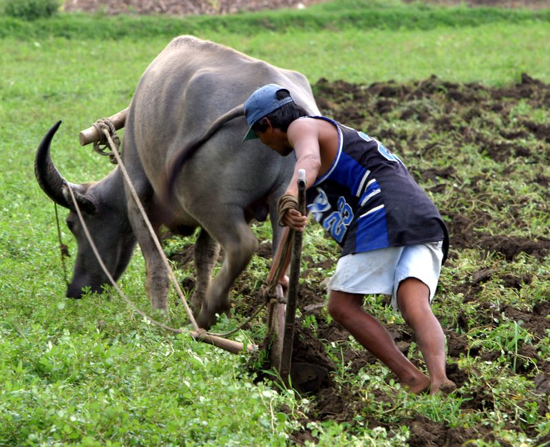 Plowing with a carabao.jpg