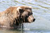 Brown bear contemplating salmon for lunch