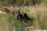 Alert sow with cubs