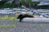 Lonely, tired Brown Bear
