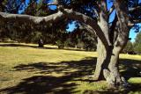 Coll d'Ordino: Grandfather Tree