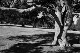 Coll d'Ordino: Grandfather Tree II