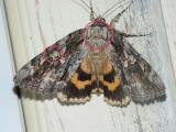 betrothed-underwing-7764b.jpg