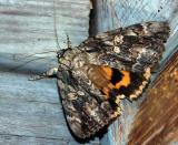 betrothed-underwing-qq-7770.jpg