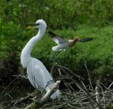 egret_attack