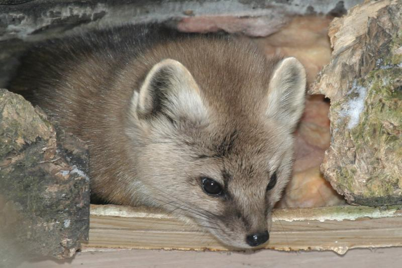 Marten peering out showing nose