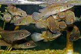 Pike cichlids