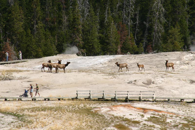 Elk in the Geyser Basin