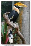 Great Pied Hornbill - female