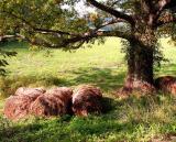 Oak & Hay