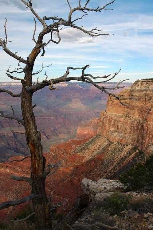 Dead Tree over the Canyon.jpg