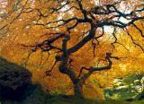 Yellow-Maple.jpg