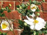 Clematis by circa 1780s house brick wall More 2003 photos, click next image