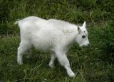 Junior Mountain Goat