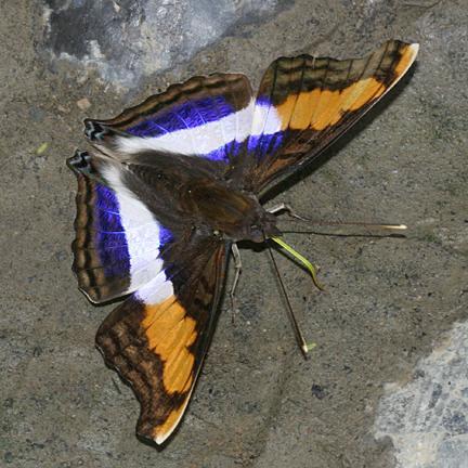 Silver Emperor male - Doxocopa laure