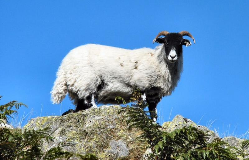 Lakeland sheep