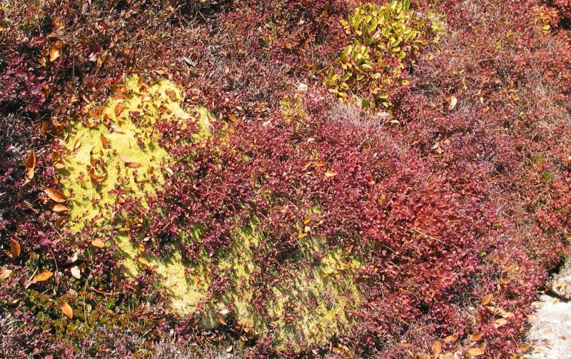Yellow Moss and Red Birch