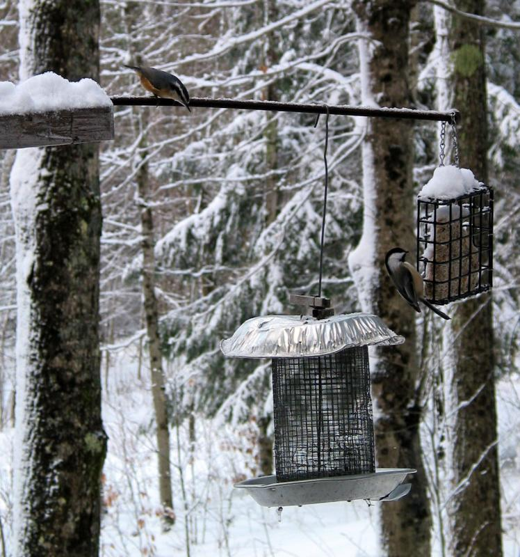 Redbreasted Nuthatch and Chickadees