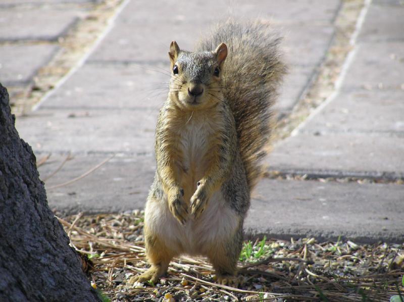 ISU College of Engineering squirrel girl NIB6F71.jpg
