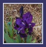 Dark blue iris