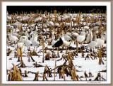 Fields of Snow....Geese