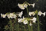 Lily Formosanum Navona 06