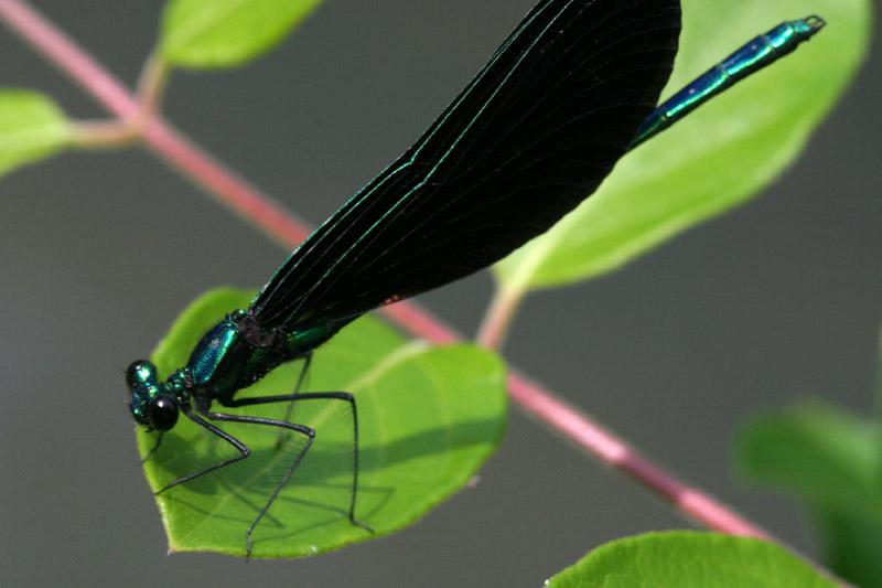 Black-Winged Damselfly - <i>Calopteryx maculata</i>