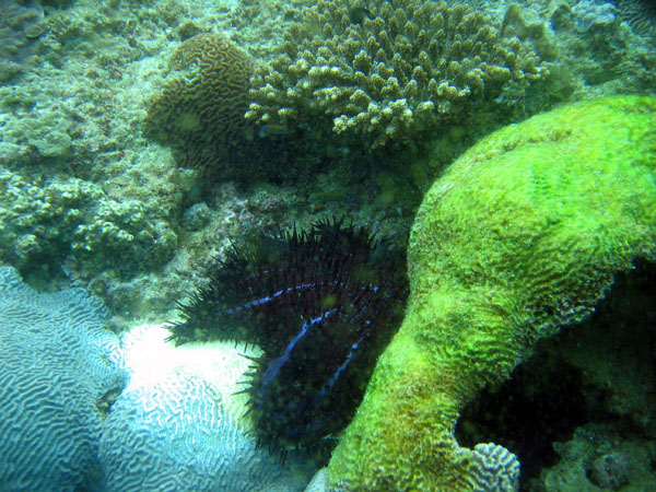 Crown of Thorns star