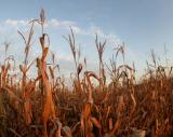 Sunset Corn.jpg