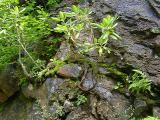 R. maximum, Saxifraga michauxii MP 361.6 N
