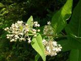 Asclepias exaltata (Poke Milkweed) MP 349.9 S